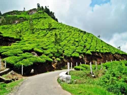 Tea_Gardens_in_Munnar_Town