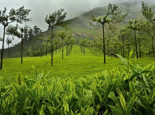 Munnar_tea_plantation